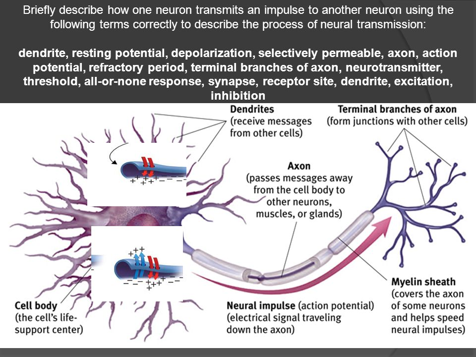 Draw a neuron and a synapse and label as much of it as you can ...