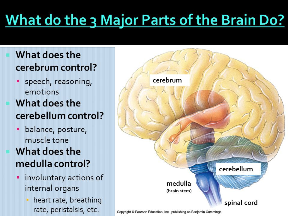 chapter 25 nervous control (sec. 2 up to pg. 719 & sec 1) - ppt, Cephalic Vein
