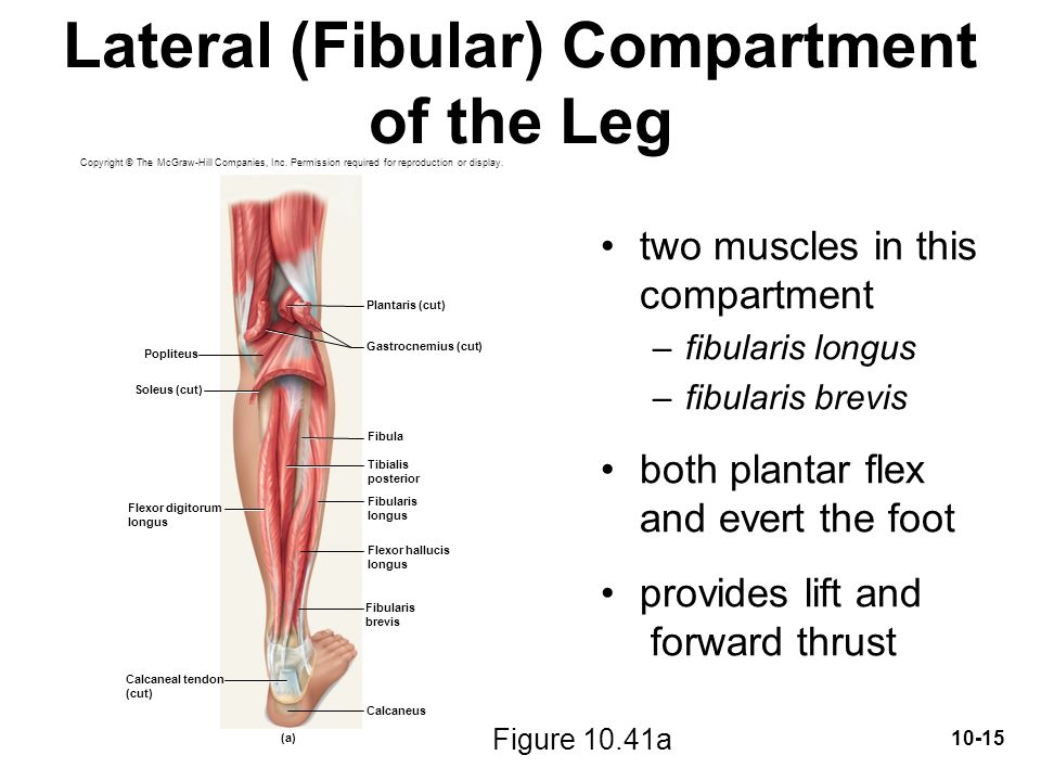 lateral compartment of leg - photo #16
