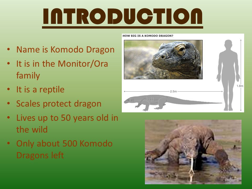INTRODUCTION Name is Komodo Dragon It is in the Monitor/Ora family