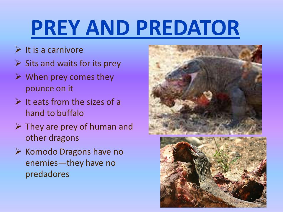 PREY AND PREDATOR It is a carnivore Sits and waits for its prey