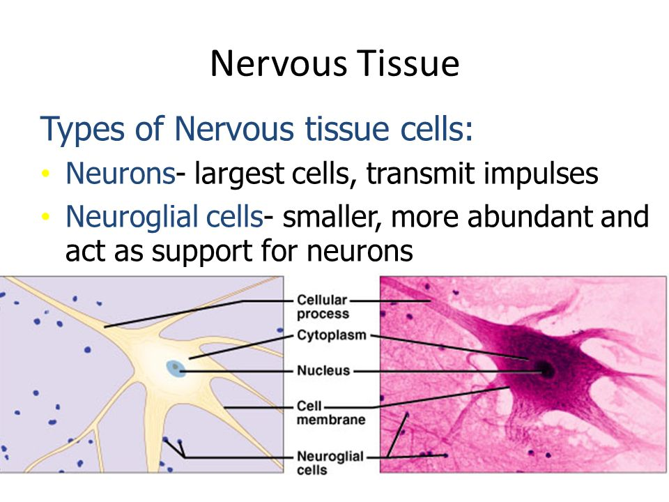 nervous tissue Nervous tissue i organization of nervous tissue nervous tissue, which is derived from neuroectoderm, is organized into two major systems: a central nervous system (cns.