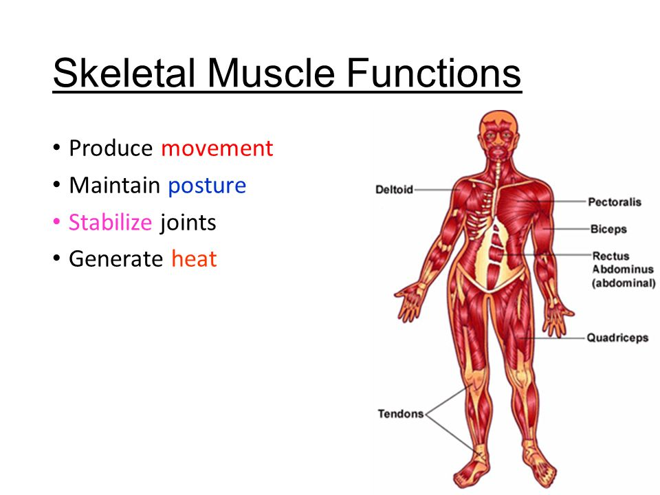 skeletal muscle functions - ppt video online download, Muscles