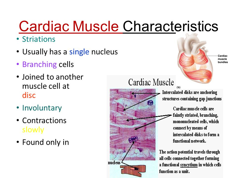 shape and function of cardiac muscle biology essay Heart anatomy focuses on the structure and function of the heart this amazing muscle produces electrical impulses regina the anatomy of the heart.