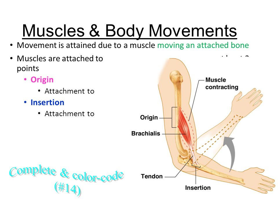Which bone is not attached to muscle in human body?
