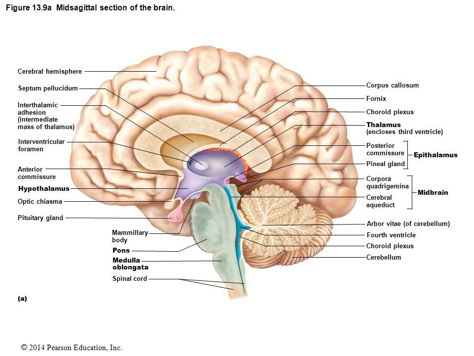 Left Hemisphere Of Brain Diagram Free Wiring Diagram For You