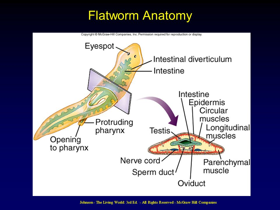 Flatworm Anatomy Images Free Download Eemb 116 At University Of