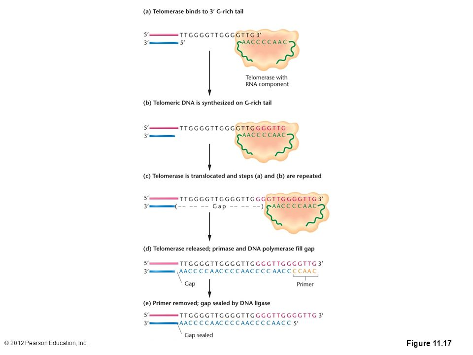 Dna replication and recombination ppt download 70 figure ccuart Choice Image