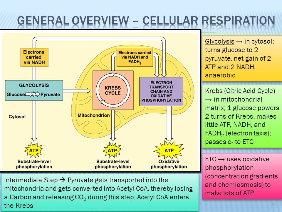 summary diagram of cellular respiration gallery how to guide and refrence. Black Bedroom Furniture Sets. Home Design Ideas