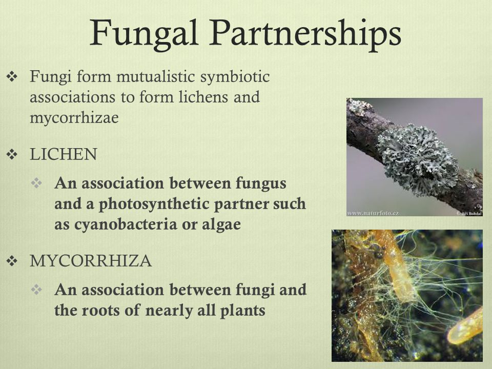 lichens are a mutualistic relationship between fungi and