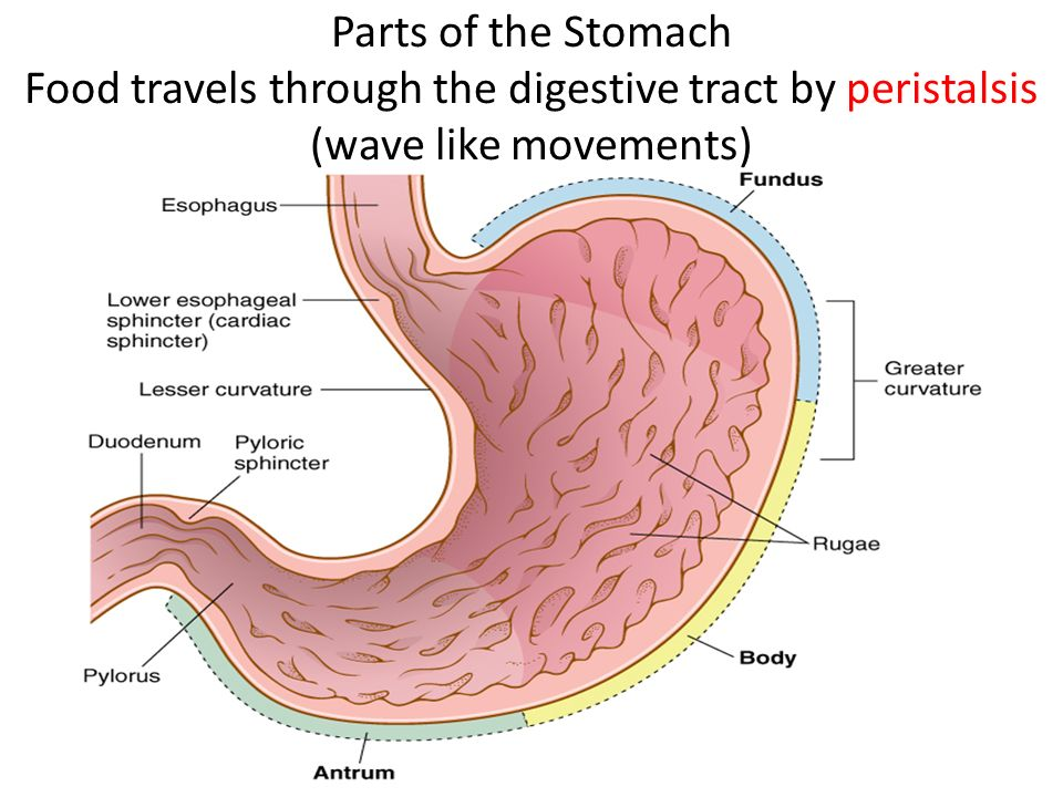 an analysis of the way food travels through our digestive system Digestion is the process of changing food into a form that the chemical digestion occurs at every point in the digestive system opens to allow food through.