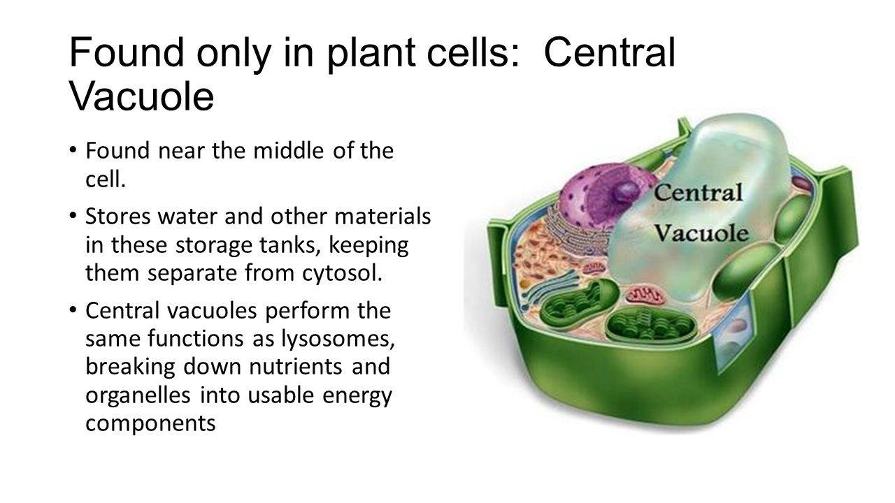 Central Vacuole Plant Cell