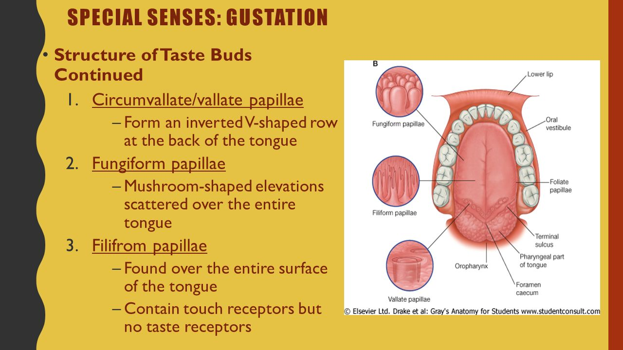 Tongue surface anatomy