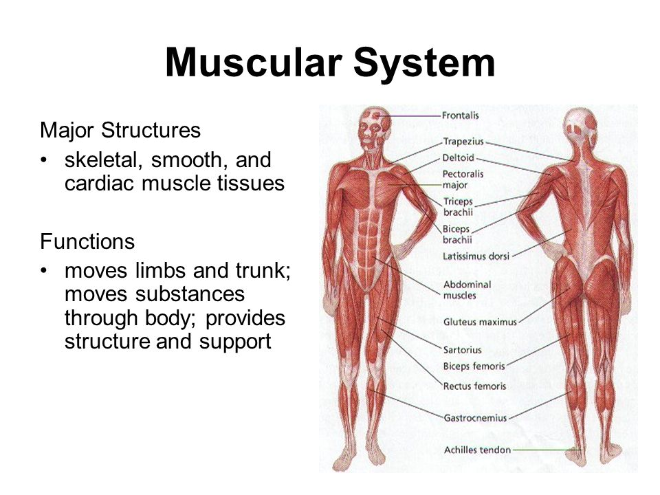 human body systems. - ppt download,