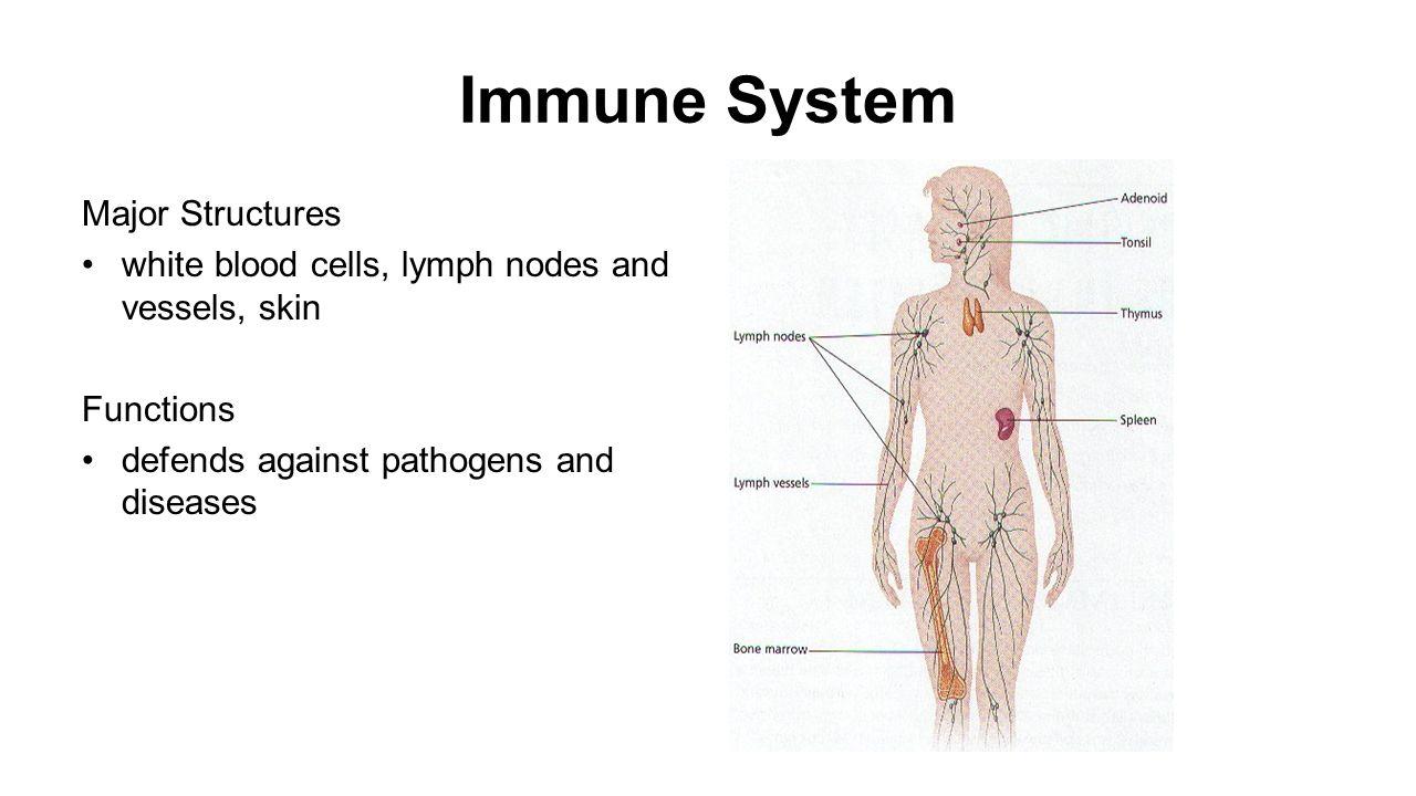 Immune System Organs Akbaeenw