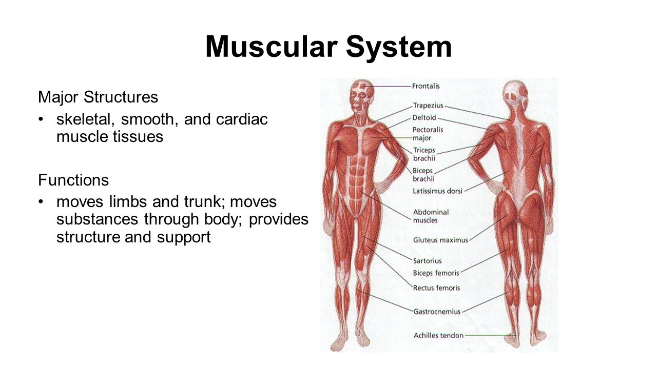 How do the skeletal and muscular systems work?