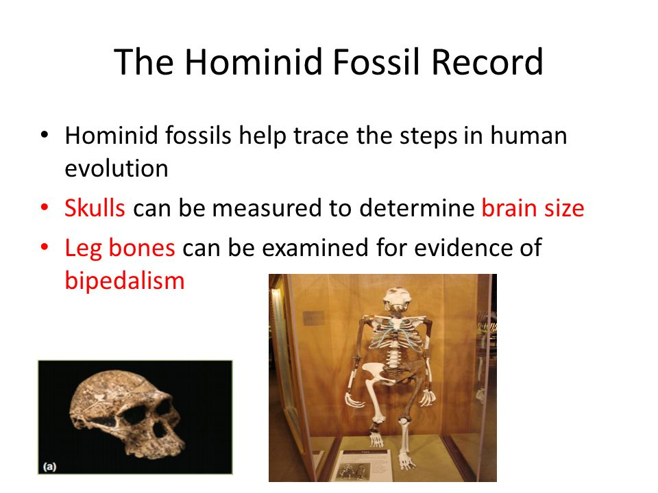 human evolution and the fossil record essay
