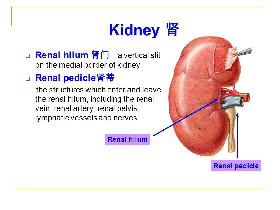 Renal Hilum The Urinary System 泌...