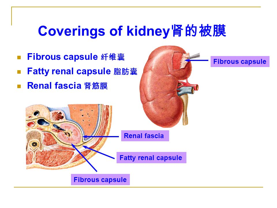 Renal Capsule The Urinary Sys...