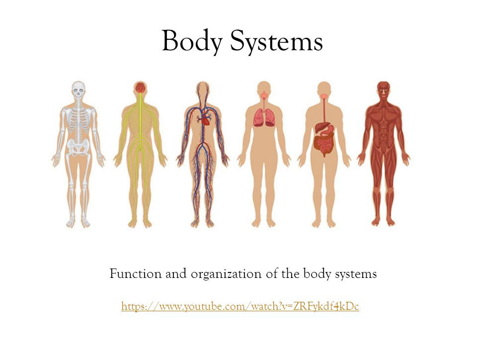 Function And Organization Of The Body Systems
