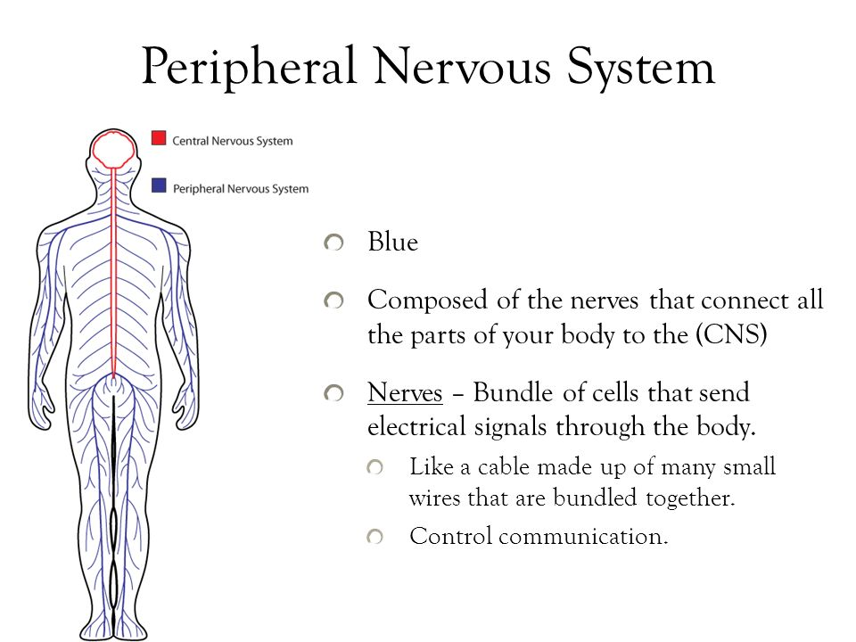 peripheral nervous system function pdf