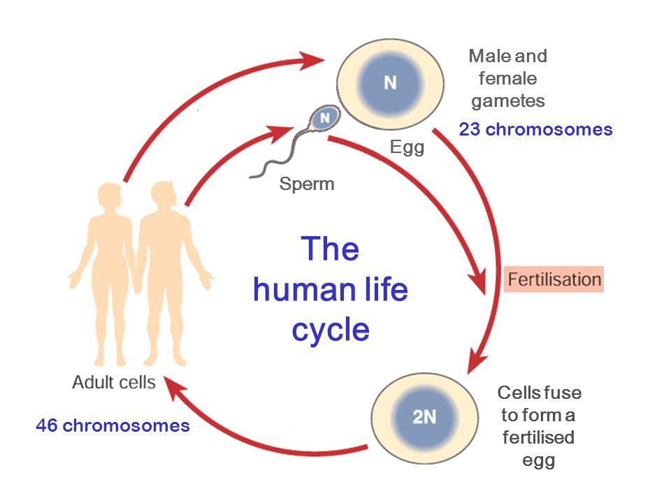 life cycle of human development