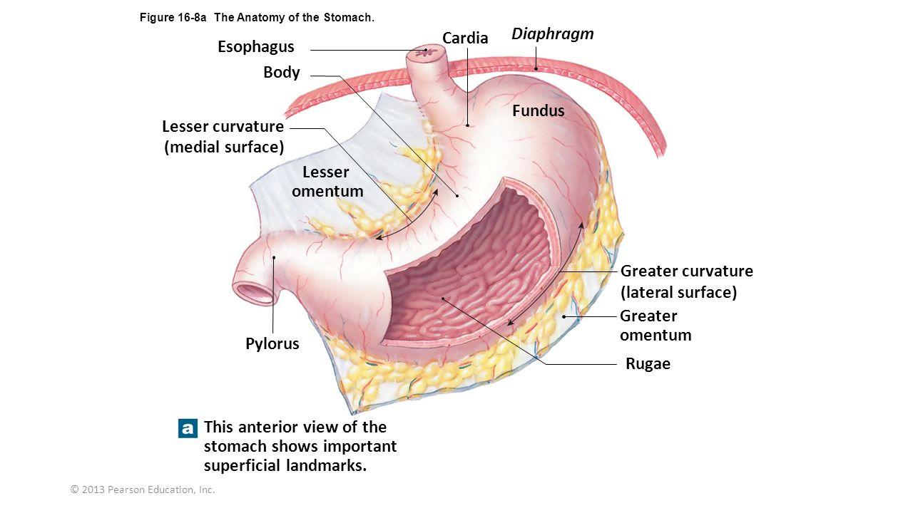 Schön Human Ear Anatomy And Physiology Bilder - Anatomie Ideen ...