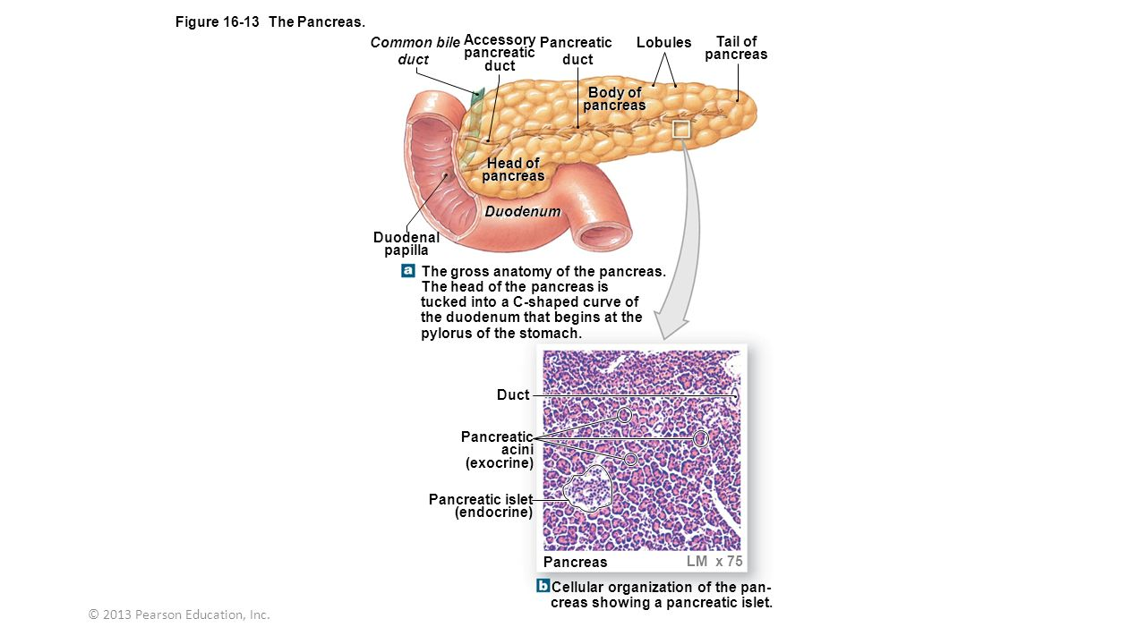 pancreas anatomy and physiology pdf