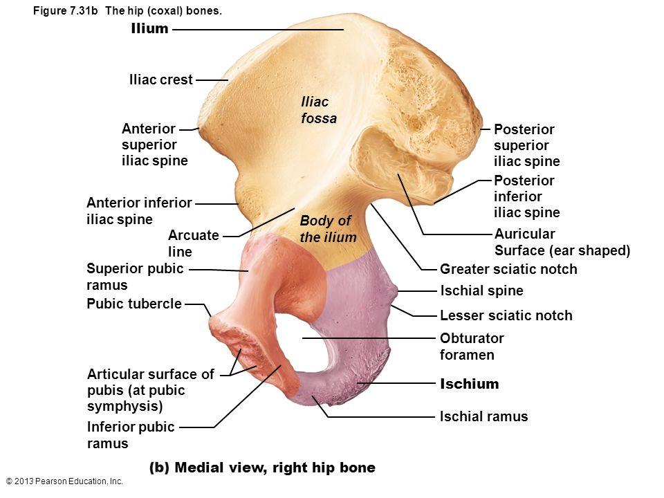 7 the skeleton: part b appendicular skeleton - ppt video online, Cephalic Vein