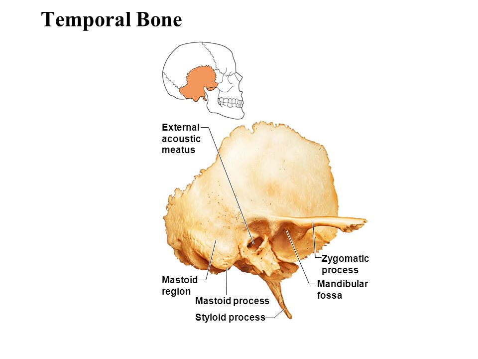An Overview of the Skeleton - ppt video online download