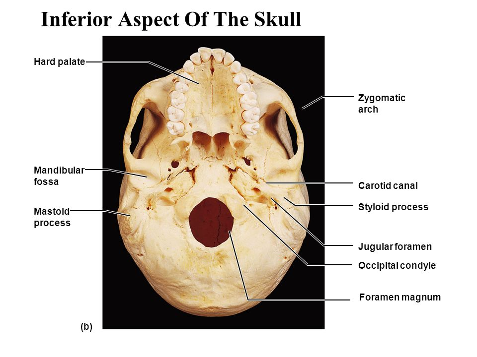 an overview of the skeleton - ppt video online download, Human Body