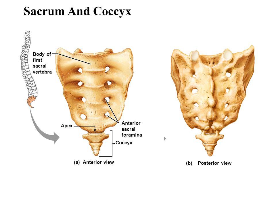 sacrum and coccyx posterior view wwwpixsharkcom
