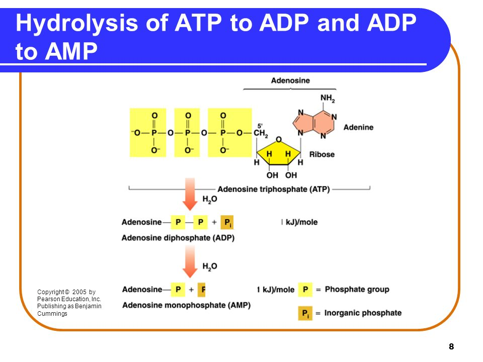 atp adp and amp relationship