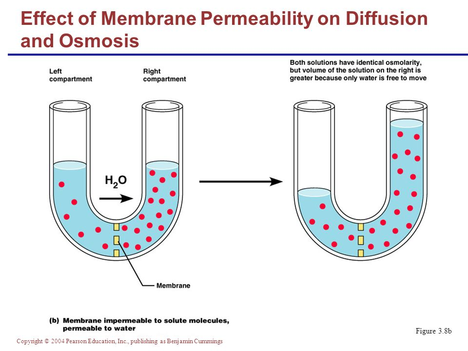 Effect of organic solvents on cell membrane permeability