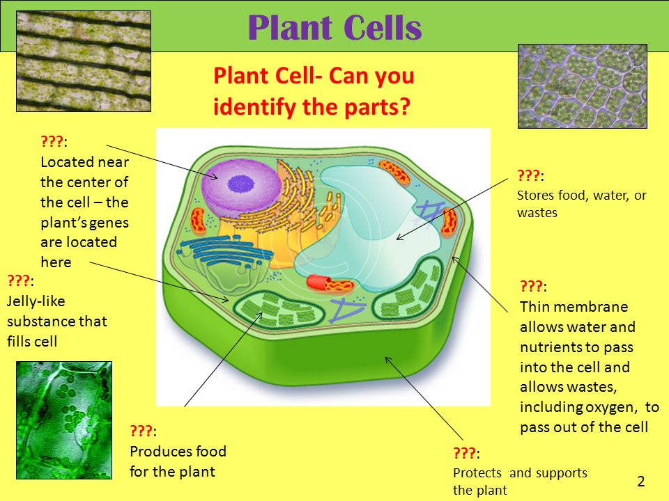 plant cells Plant cell structure is a topic within the cell biology and is included in a-level biology this page includes a diagram of a plant cell together with notes about the parts of plant cells including organelles present in plant cells.