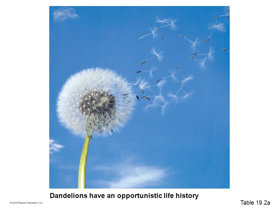 population ecology - dandelions essay R represents the population growth rate  the small dandelion is unable to  compete with other, larger species, making the excess of seeds a necessity.