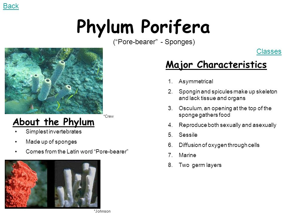 phylum porifera Poriferaporifera is a phylum under the kingdom of animaliaporifera is the oldest phylum in this kingdom and has been around for the last 600 million years the most common organism in this phylum is sponges.