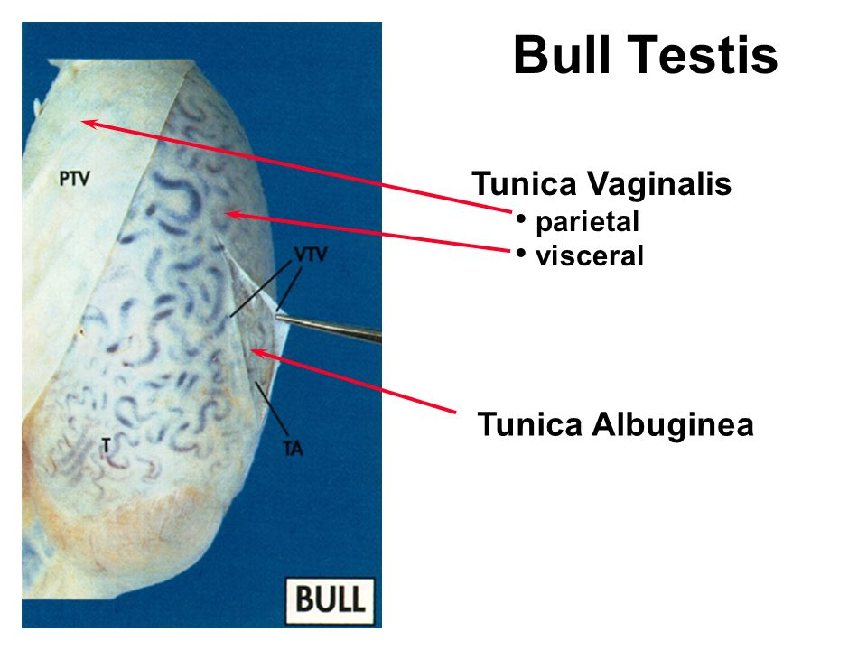 Bull Testis Tunica Vaginalis Parietal Visceral Tunica Albuginea on testis cross section anatomy