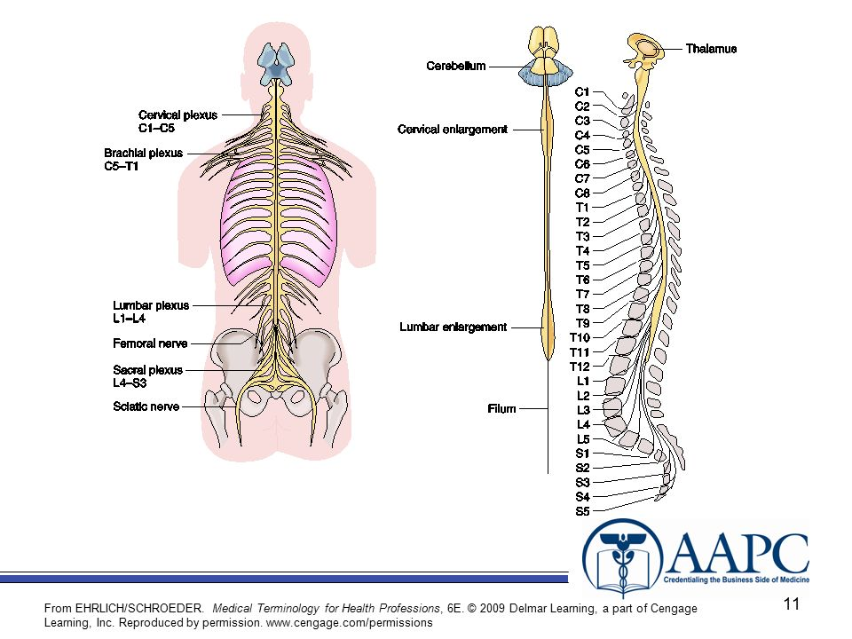 This Picture Shows The Relationship And Location Of The Nerve Plexuses And Major Nerves Of The Body