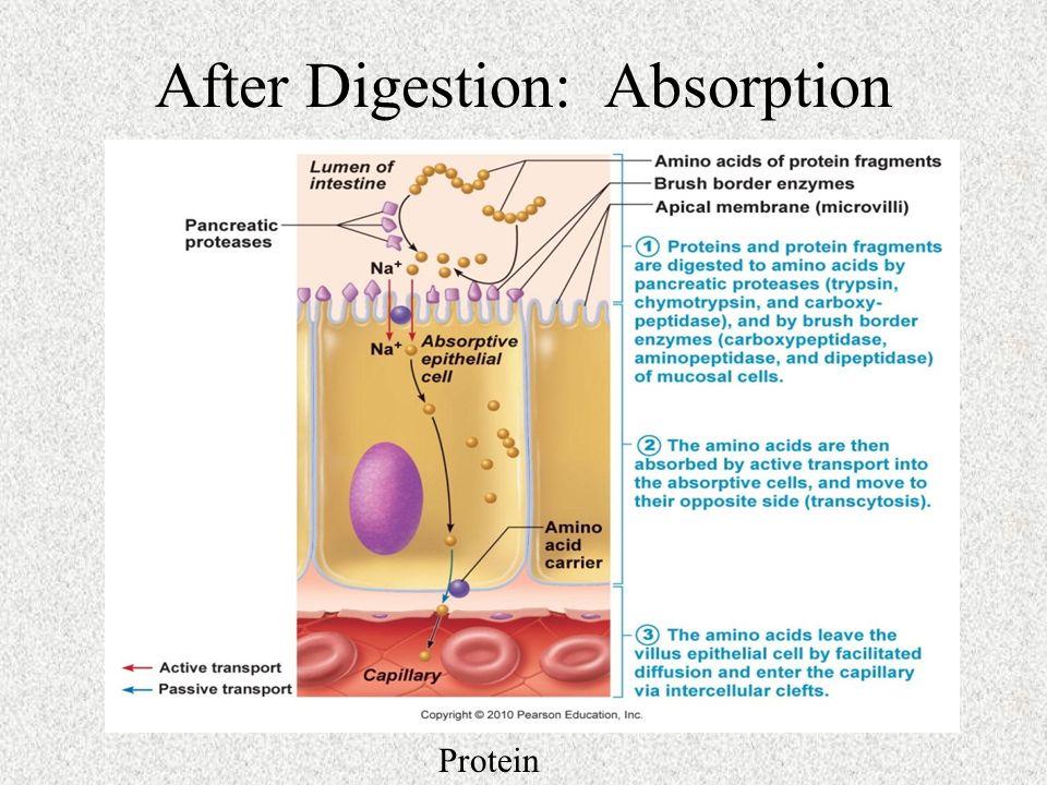 digestion absorption