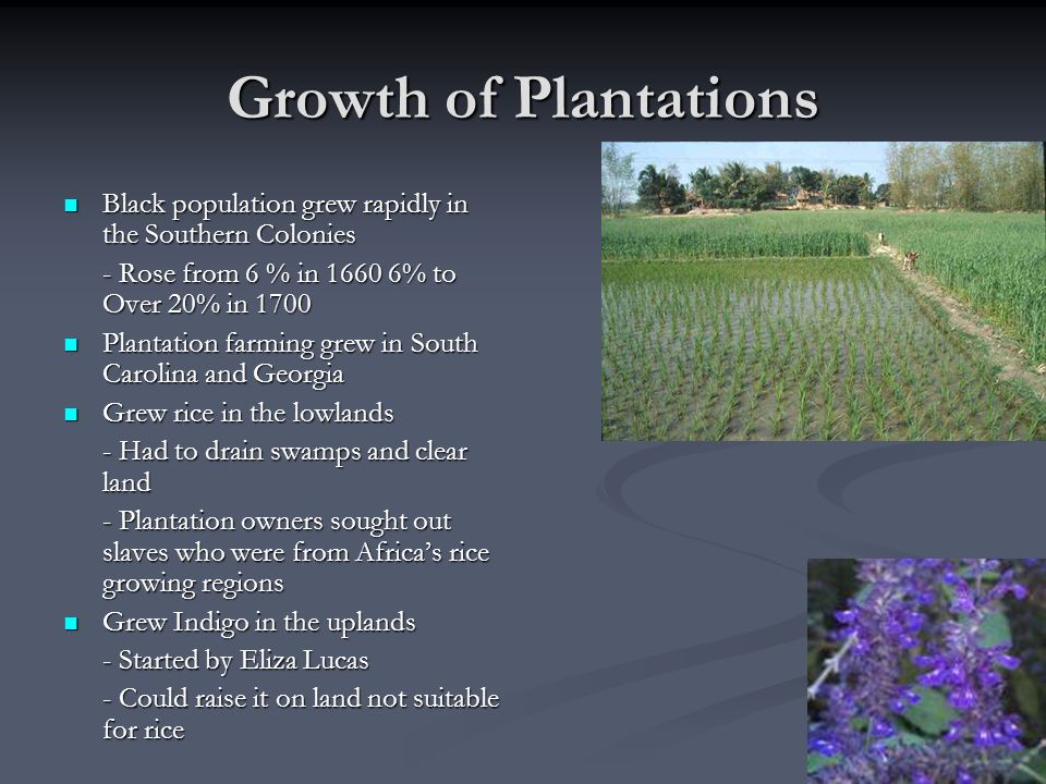 Growth of Plantations Black population grew rapidly in the Southern Colonies. - Rose from 6 % in % to Over 20% in