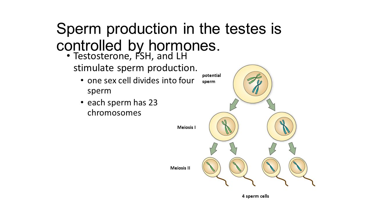 Sperm production in the testes is controlled by hormones.