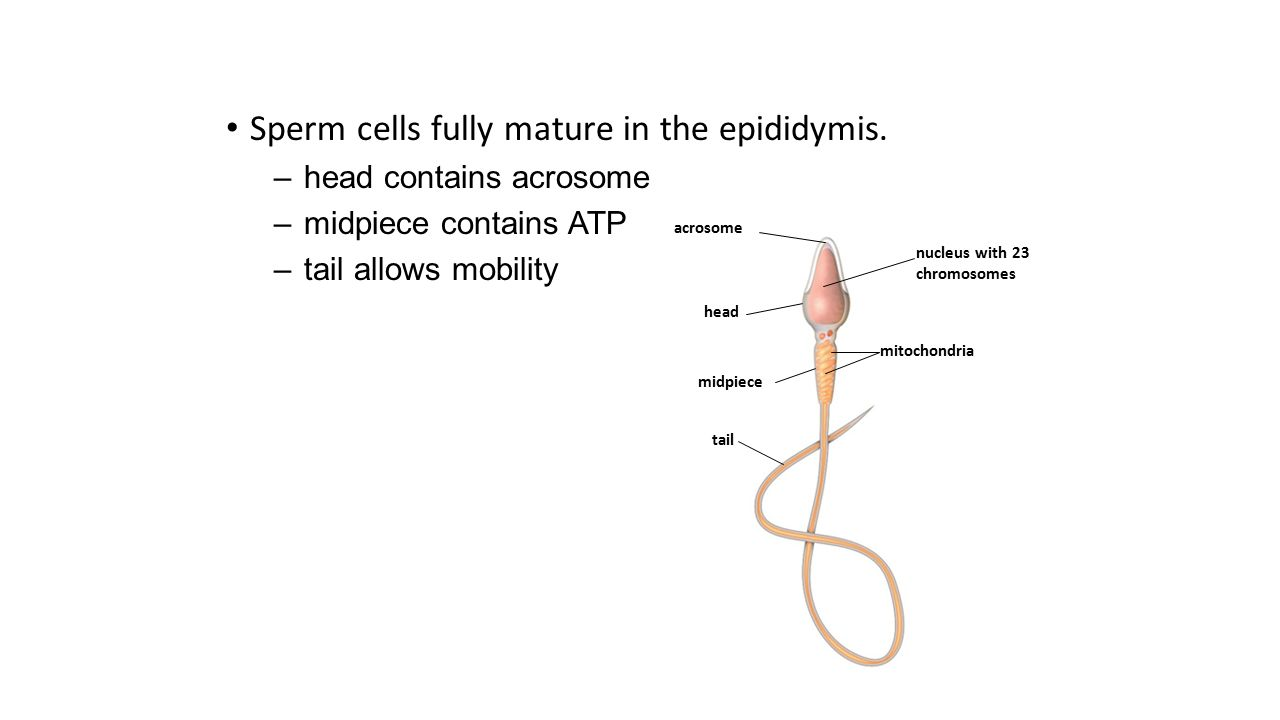 Sperm cells fully mature in the epididymis.