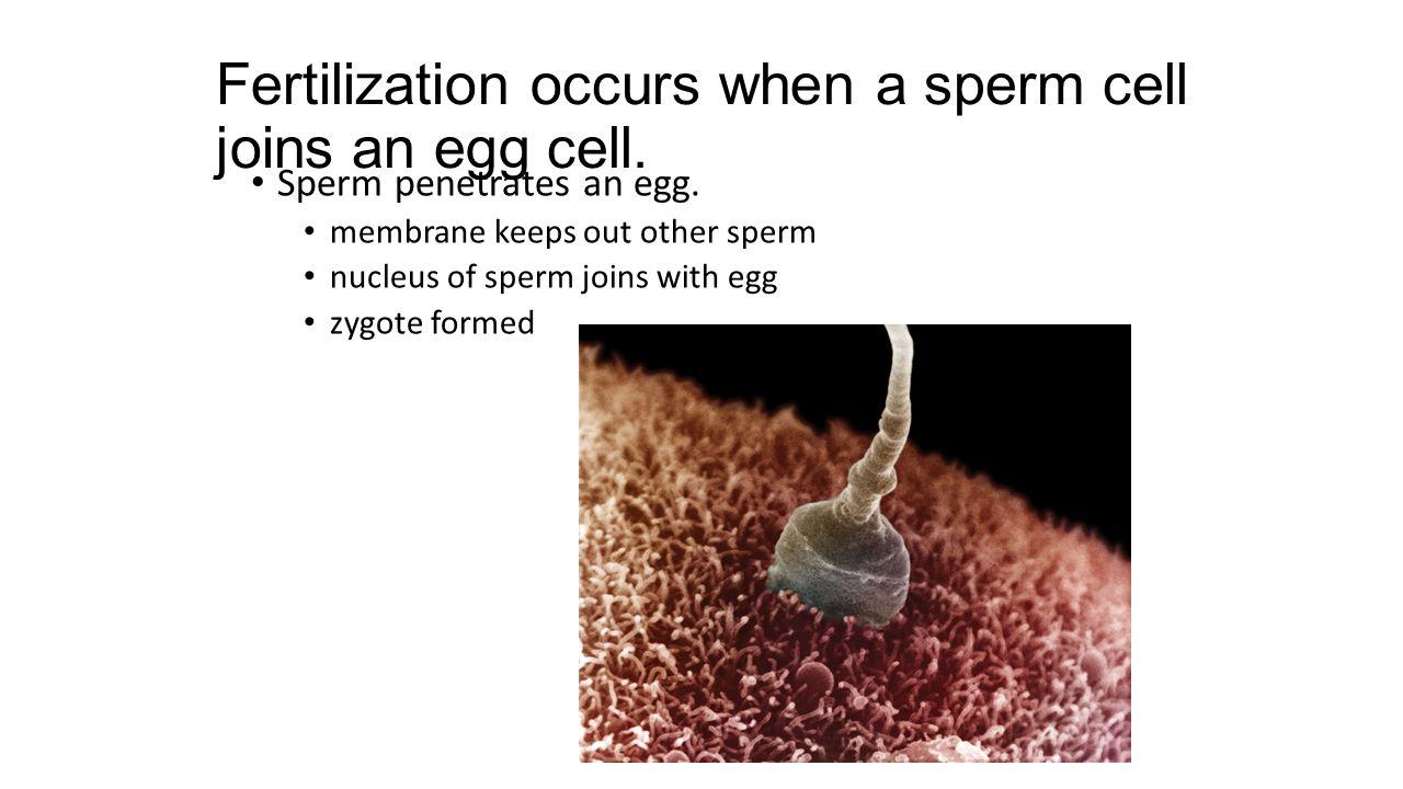Fertilization occurs when a sperm cell joins an egg cell.
