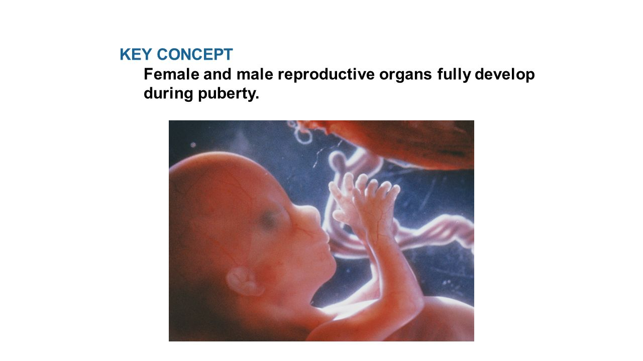 KEY CONCEPT Female and male reproductive organs fully develop during puberty.