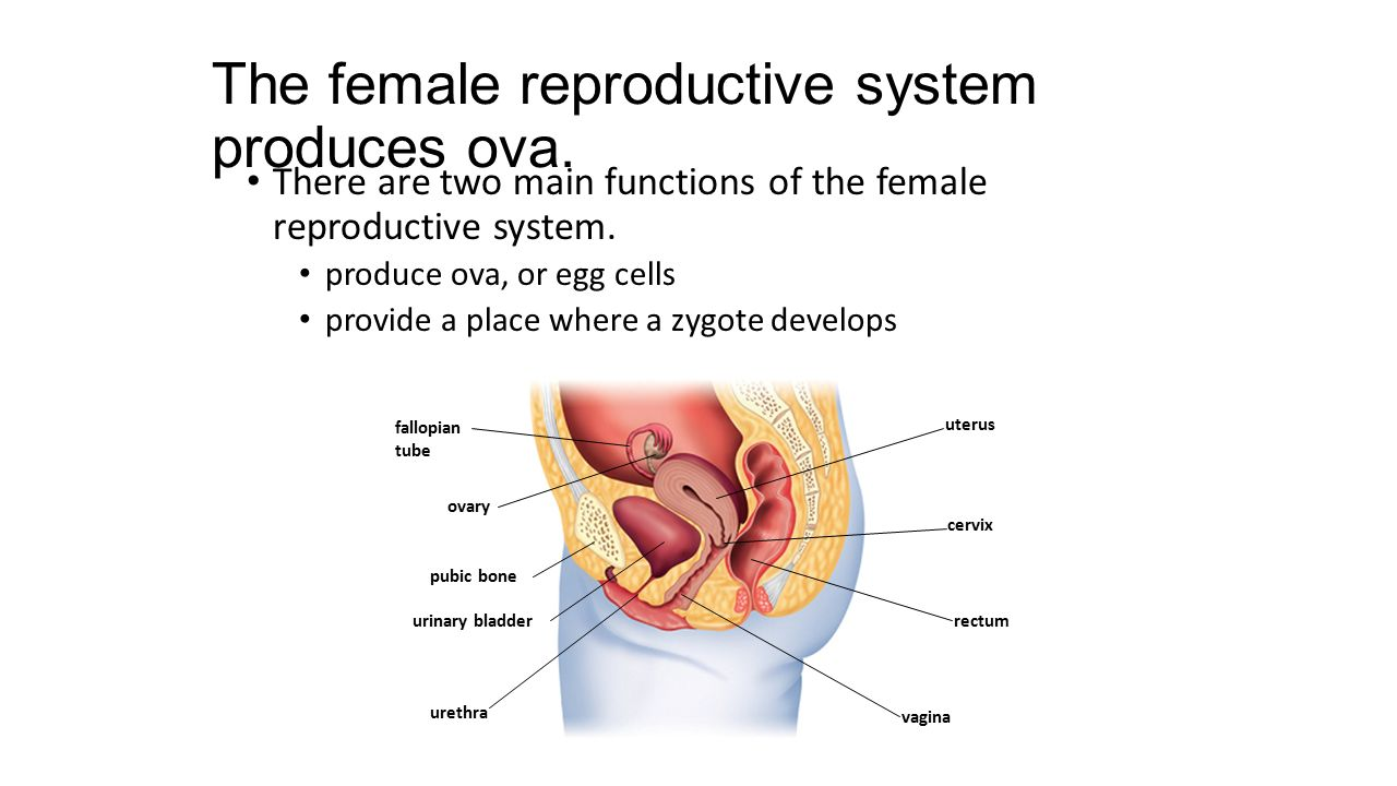 The female reproductive system produces ova.