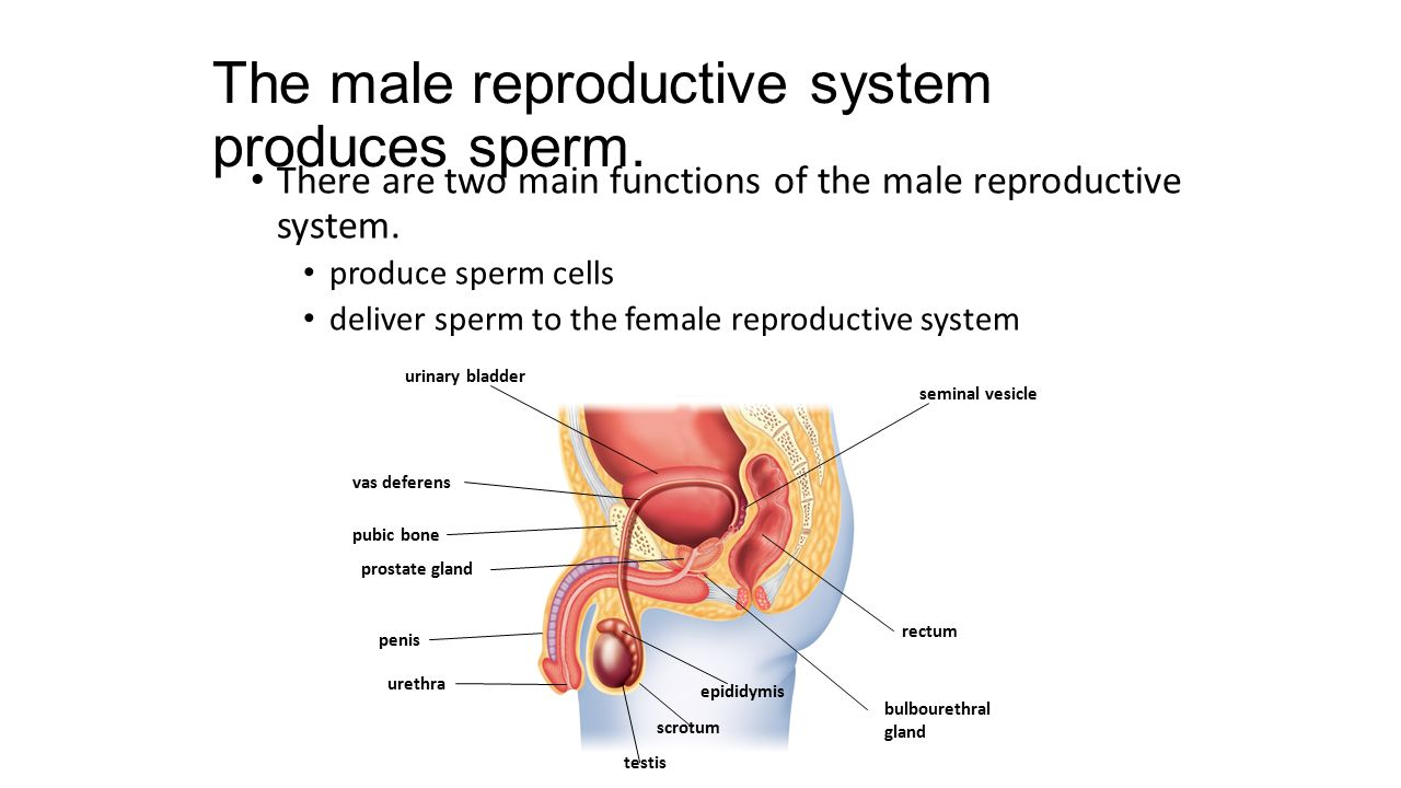 The male reproductive system produces sperm.