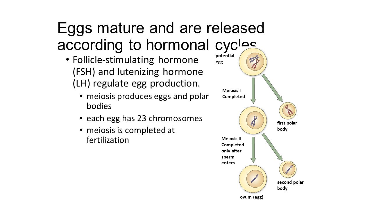 Eggs mature and are released according to hormonal cycles.