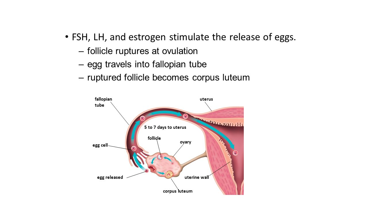 FSH, LH, and estrogen stimulate the release of eggs.
