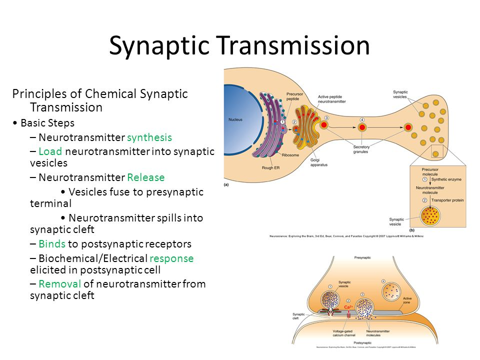 synaptic transmission Synaptic transmission can be changed by previous activity these changes are called synaptic plasticity and may result in either a decrease in the efficacy of the synapse, called depression, or an increase in efficacy, called potentiation.